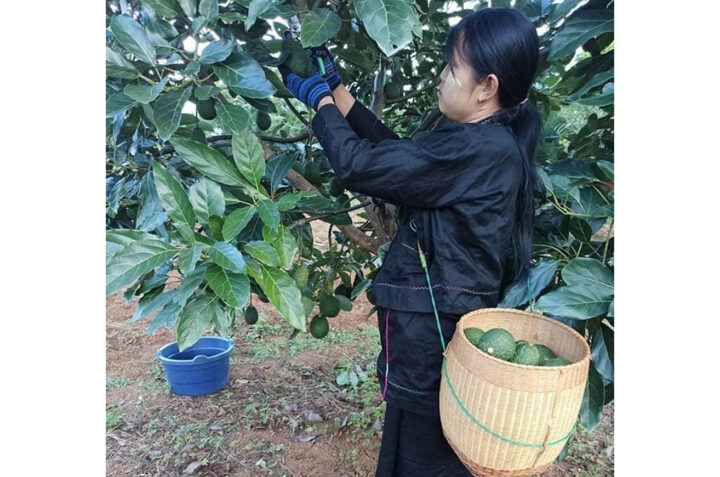The avocado growers urged to expand the cultivation with pedigree plants amid high demand from Europe market