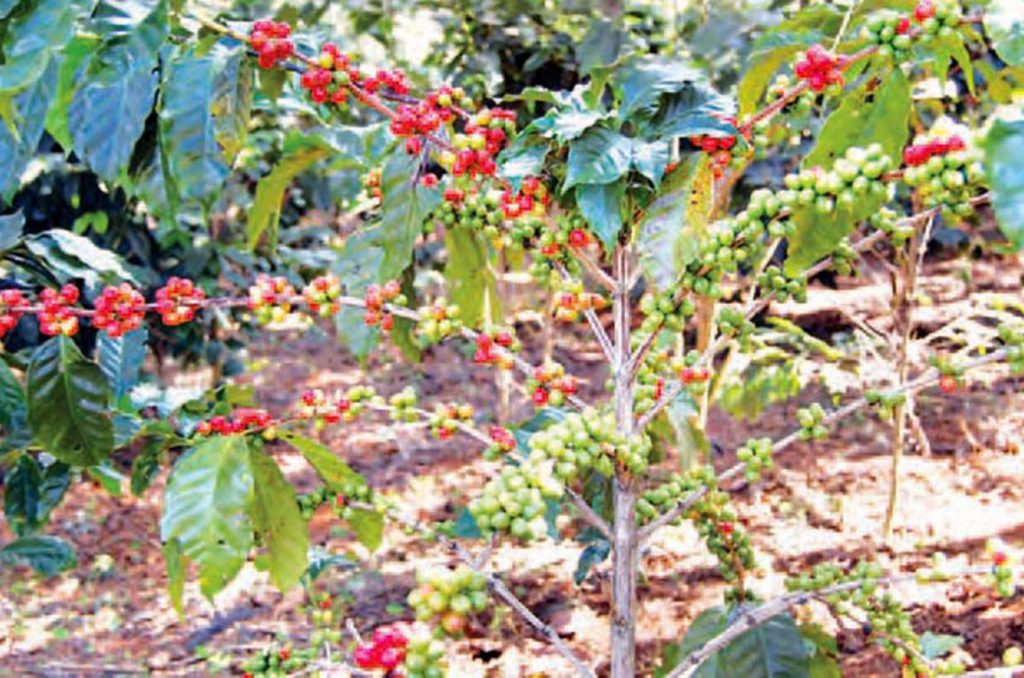 Myanmar Coffee Association expected export market recovery in the coming months of current fiscal year